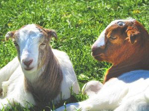 Photo contributed Two of Bremer's 10 goats sit well cared for on the farm.